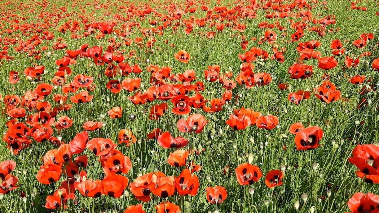 """#12. ყაყაჩოები – Land of Poppies (პროექტი """"საქართველო ჩვენს გარშემო"""")"""