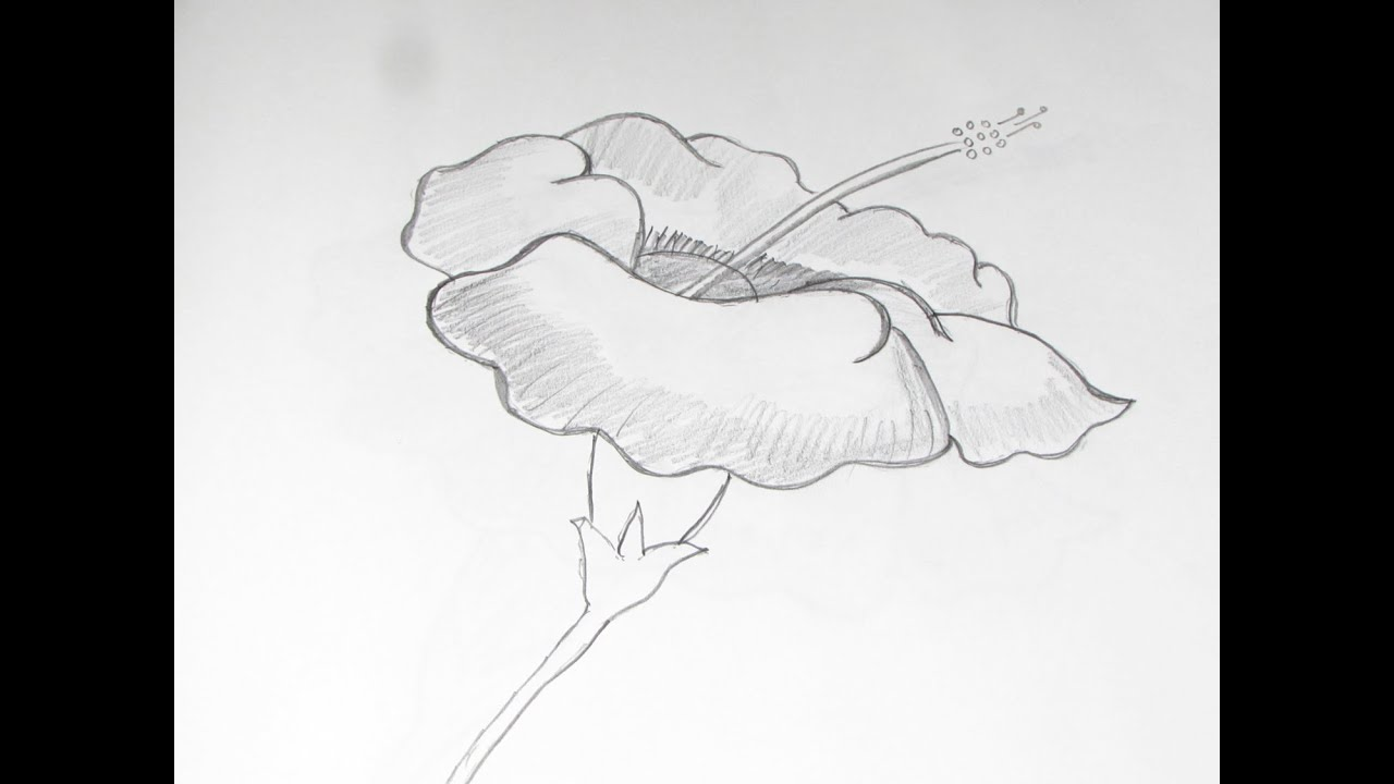 How to draw and sketch hibiscus flower using pencil 1 youtube