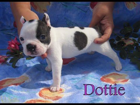 Dottie - Female - Boston Terrier Puppy