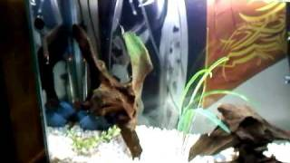 55 gallon aquarium with mississippi map turtle and convict cichlids