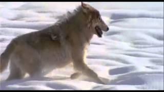 The Wolf (Power Animals)