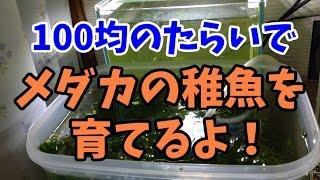 【アクアリウム】100均たらいでメダカの稚魚を育てるよ!