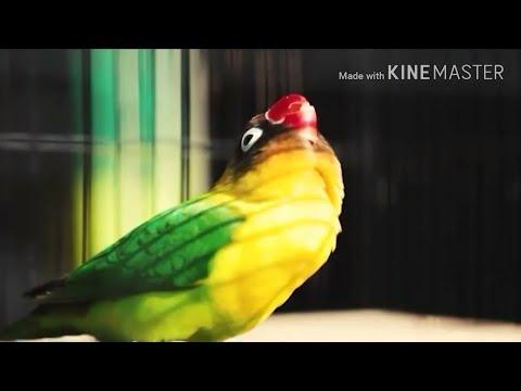 kisah sukses dari banjarnegara lovebird kaisaro 6 bul