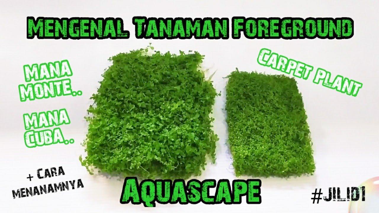 Mengenal Tanaman Aquascape Foreground Terkecil Di Dunia ...