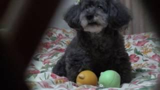 我が家のロッキー(トイプードル)がボールを前に並べて、「一緒に遊ん...