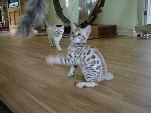 How Much do Bengal Kittens Cost? - Bengal Cat Club