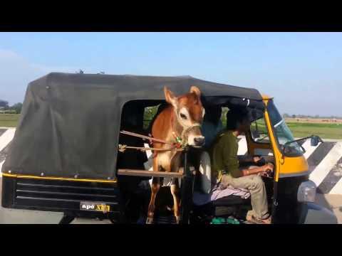 Viral Video UK: Cow on wheels!