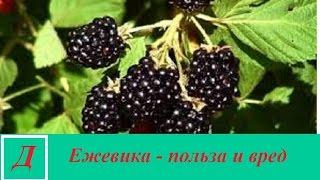 Ежевика - полезные свойства и противопоказания