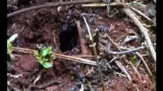 jumping ants nest