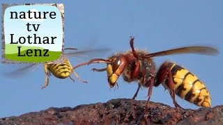 Yellow Jackets, paper wasps and bees and hornet. Wespen, Feldwespe, Biene, Hornisse.