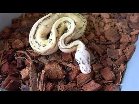 Official Ball Python Giveaway Entry Video!!! Plus Info On New Monthly Giveaway In The Works!