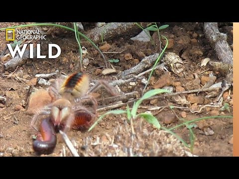 Camel Spider vs. Captures & Kills Millipede At Warp Speed