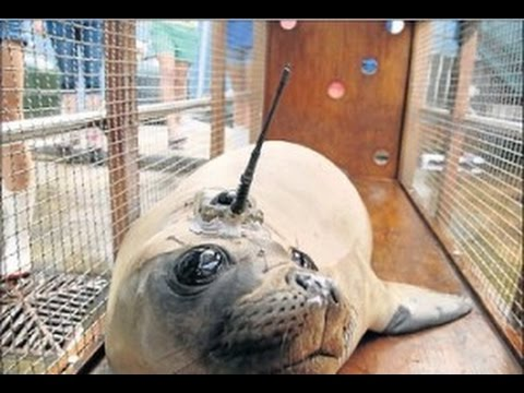 Rescued seal re-released into ocean