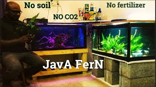 Plants for beginners Aquarium | Java fern Care guide | Easy maintenance