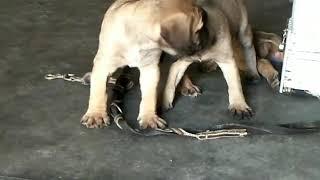 9212 501 257 Hug English Mastiff dog puppies for sale Delhi Gurgaon, English Mastiff dog shop in Del