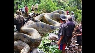 WORLD  BIGGEST SNAKE ANACONDA FOUND IN AMERICA'S AMAZON RIVER(Giant Anaconda World's biggest snake found in America's Amazon river , it has killed 257 human being's and 2325 wild animals / snake . It is 134 feet long and ..., 2015-07-22T13:25:22.000Z)
