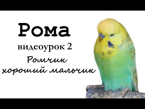 """🎤 Учим попугая по имени Рома говорить. Видеоурок 2: """"Ромчик хороший мальчик"""""""