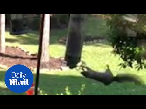 Squirrel Goes For A Spin On Bird Feeder In A Back Garden - Daily Mail