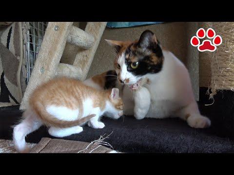 子猫まや、6回目の猫部屋訪問。みけに怒られた【瀬戸のまや日記】Cute kitten Maya's 6th visit to the cats room.
