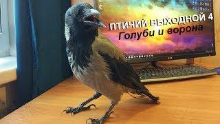 Птичий выходной 4. Голуби и ворона