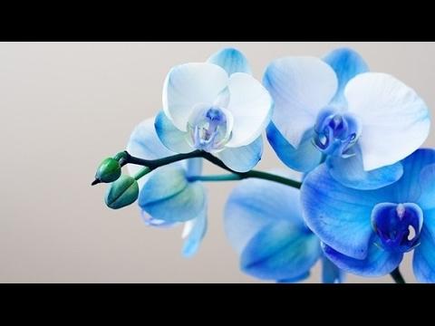 синяя орхидея, Купить синюю орхидею и не пожалеть об этом или увидеть как погибает растение