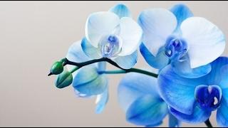 синяя орхидея, Купить синюю орхидею и не пожалеть об этом или увидеть как погибает растение(, 2017-02-12T13:23:27.000Z)