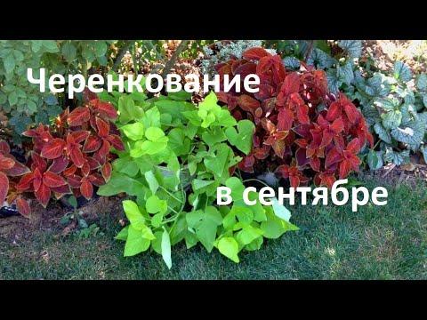 5 растений, которые ОБЯЗАТЕЛЬНО черенкую в СЕНТЯБРЕ. Черенкуем правильно!!!
