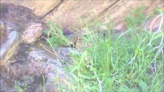 Palm Canyon Rattlesnake