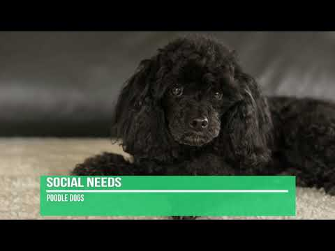 Poodle Dog Breed Information - Facts About Poodles