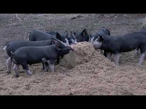 Brewery grains & piglets at Myrtle point heritage farm