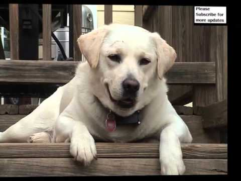Dog breed labrador retriever picture collection ideas for Dog house for labrador retriever