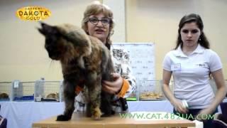 Международная выставка кошек, Харьков, 4 марта 2017, Мей Куны, ринг, монопородный 2