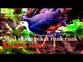 Pikat Burung Ruak Ruak Selow Cocok Untuk Burung Tua Ataupun Muda  Mp3 - Mp4 Download