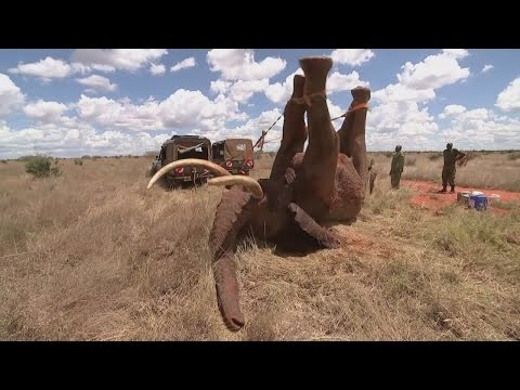 Elephant saved from ivory poachers in Kenya