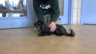 Pepper, An 8 Year Old Yorkshire Terrier/miniature Poodle Mix Available For Adoption At The Wisconsin
