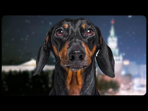 Dachshund's president message! Funny dog video!