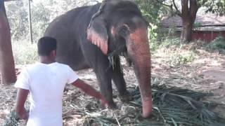 индийские слоны в гоа