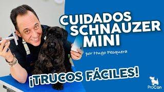 Cuidados DEL PELO en perros SCHNAUZER MINI o SCHNAUZER MINIATURA negro✂ Consejos peluquería canina