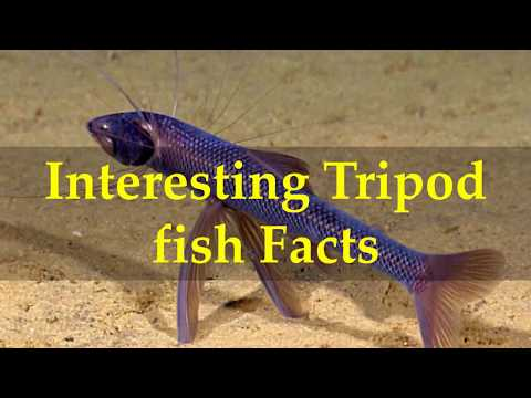 Interesting Tripod Fish Facts