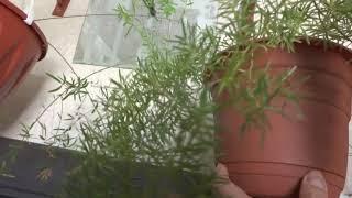 Цветы в моем доме. Комнатные растения. Мои ажурные аспарагусы.