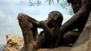 Too Cute! Baby Chimpanzee.17 months old.かわいいチンパンジーの赤ち...