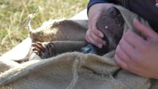 Wild Devil Recovery Project Releases 33 Vaccinated Devils into Wild