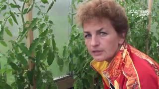 Как обрезать пасынки и листья томатов. Как формировать кусты томатов