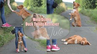 Nova Scotia Duck Tolling Retriever ~ Jule | Tricks
