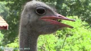 Strutul de Olanesti ostrich Zoo Sibiu 2013