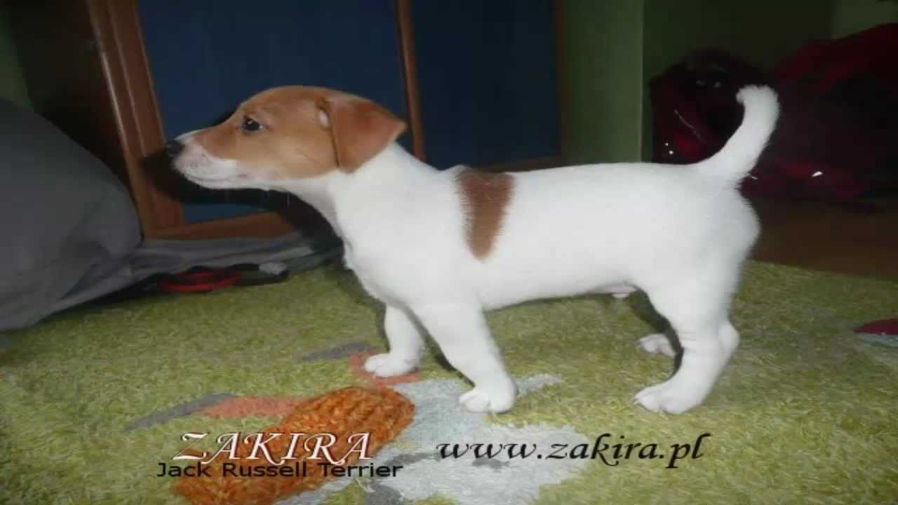 Zakira jack russell terrier m dry pies youtube - Jack russel queue coupee ...