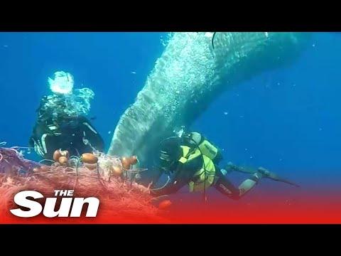 Italian coastguard rescue a sperm whale from a fishing net off the coast of Lipari, Italy