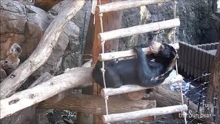 はしごとで遊ぶマレーグマのフジです。 はしごに食べものが置いてあれば...