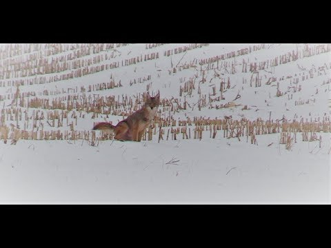 Coyote Hunting- New Territory
