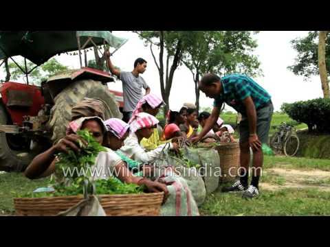 Tea industry in Assam - how tea is made!